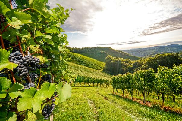 Weingut mit Trauben-Sträuchern
