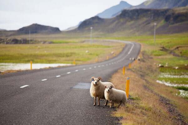 Schafe am Straßenrand in Island