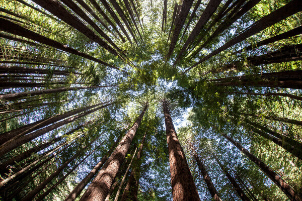 Umgeben von Mammutbäumen im Sequoia Nationalpark