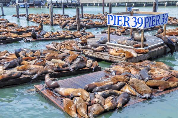 Seelöwen am berühmten Pier 39