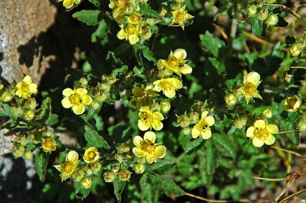 Blumen und Kräuter im Rocky Mountains National Park