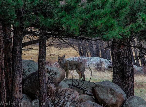 Kojote zwischen Bäumen