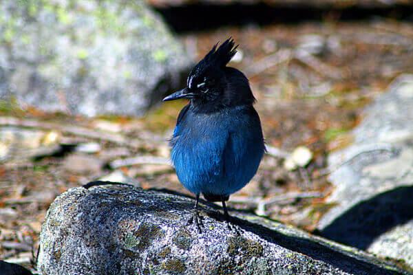 Blauer Vogel auf einem Stein