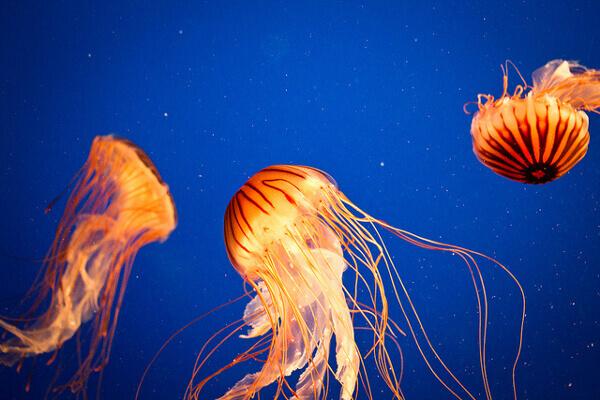 Quallen-Becken im Aquarium von Vancouver