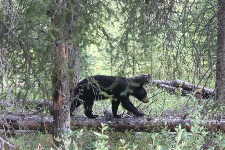 Wilde Tiere im Banff National Park