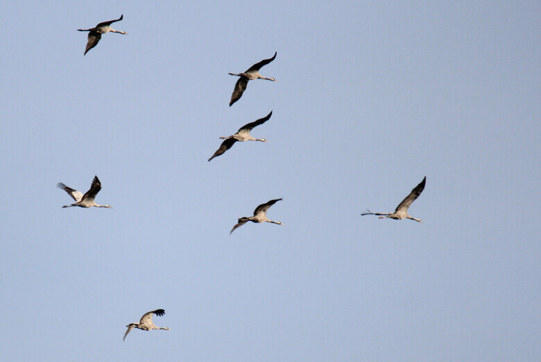 Müritz-Nationalpark: Kraniche in der Luft