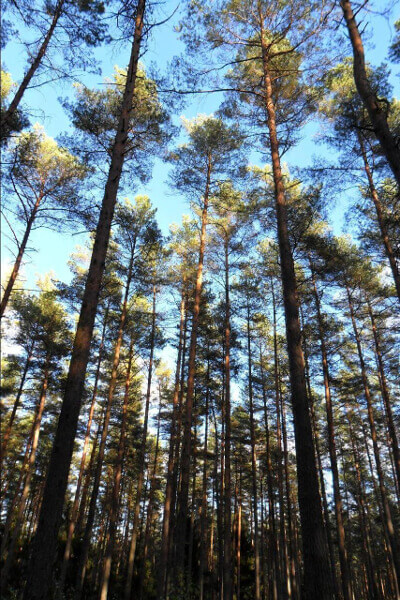 Nadelbäume im Müritz-Nationalpark