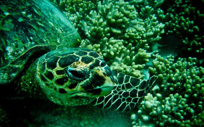 Meeresschildkröte am Ningaloo Reef hautnah