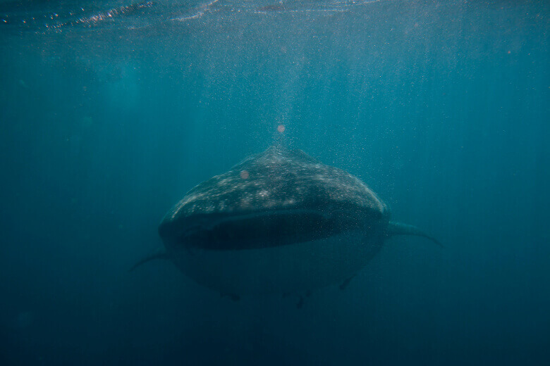 Walhai frontal am Ningaloo Reef