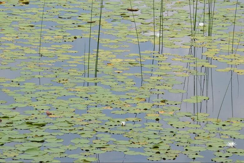 Wasserpflanzen auf einem See im Müritz Nationalpark