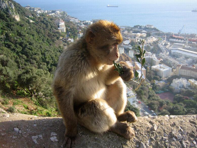 Berberaffen auf dem Felsen von Gibraltar