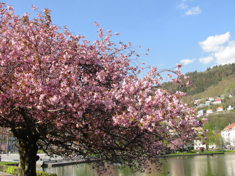 Kirschbaum während der Obstblüte in Norwegen