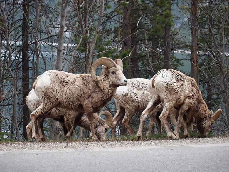 Schafe am Straßenrand des Icefields Parkways