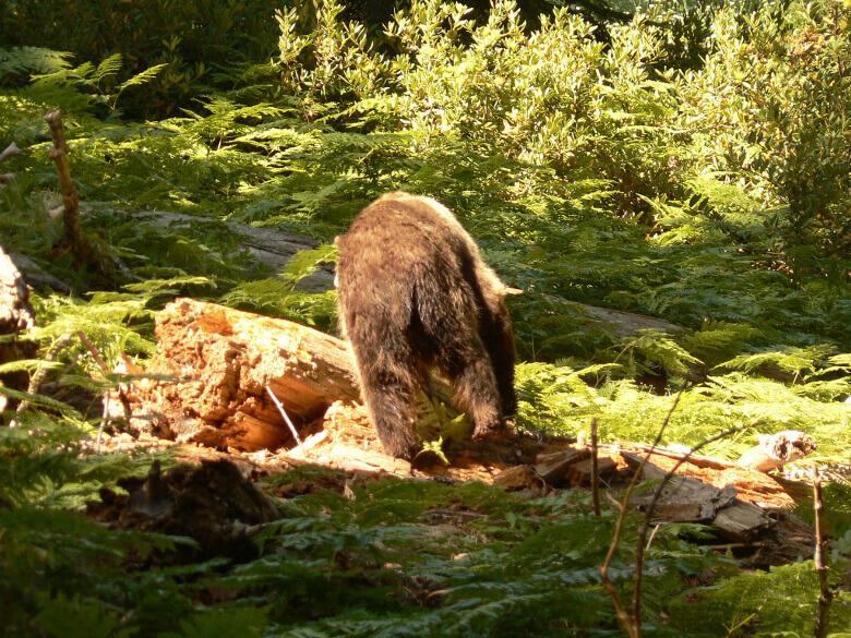 Wilder Bär auf Futtersuche im Sequoia National Park