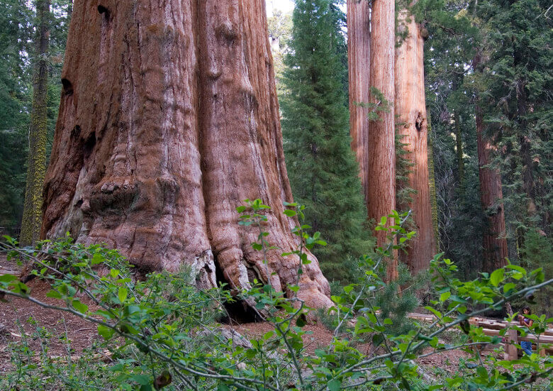 Stammbasis vom General Sherman Tree im Sequoia National Park