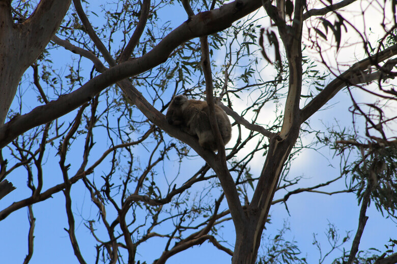 Schlafender Koala im Great Otway National Park