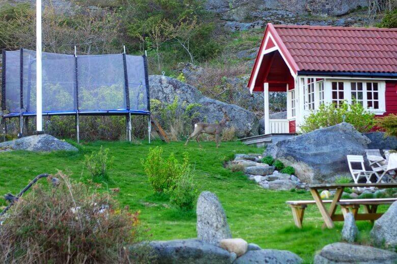 Norwegisches Reh im Vorgarten eines Wohnhauses