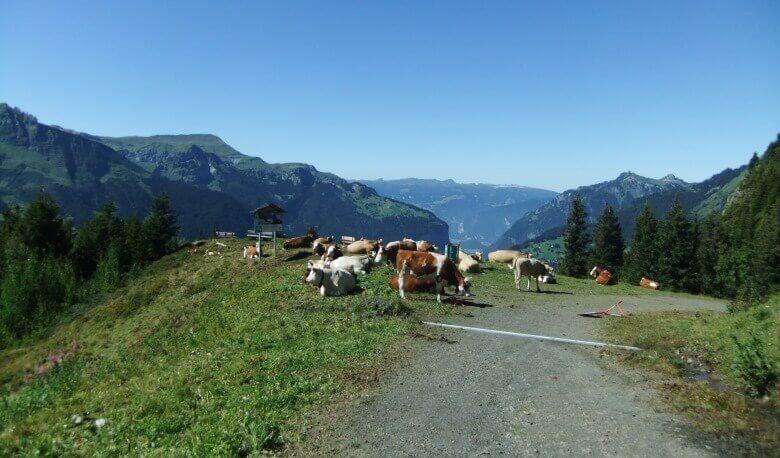 Kühe auf der Wengeneralp im Jungfraugebiet in der Schweiz