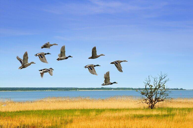 Enten im Flug in der Vorpommerschen Boddenlandschaft an der Ostsee